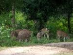 Spotted Deer at Dusk 1
