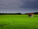 Pameungpeuk's Rice Field