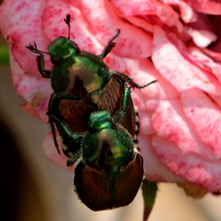 Mating Beetles - Mating Beetles, mating, bugs, beetles, insects