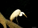 White Egret on the Prowl