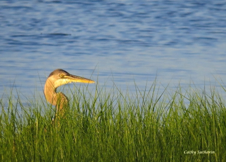 Herron in the Marsh - grass, ocean, lake, animal, beach, waterfowl, water, Herron, bird, wild