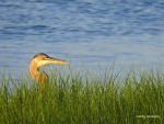 Herron in the Marsh