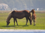 Chincoteaque Wild Pony and Baby