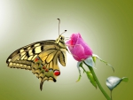 Butterfly On Rose Bud