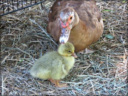our little muscovy duck (Esther) and the little gosling