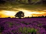 Field under the fiery sky