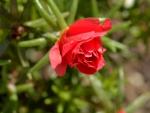 Dewdrop Rose