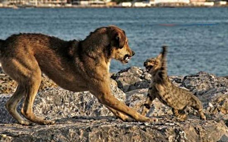 Fighting pets - cat, turned, against, dog