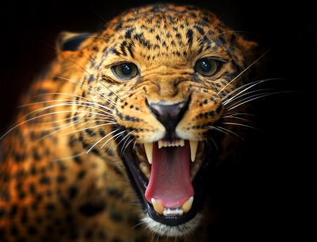 Leopard - leopard, mustache, jaws, color, cat, eyes, animal, teeth
