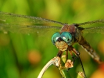 Beauty Dragonfly