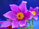 PURPLE ANEMONE BEAUTY