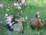 little gosling does not like to eat Mosquitoes like mommy duck