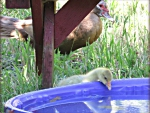 Baby gosling looks different then the other mama's, muscovy ducklings