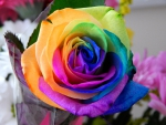 such a colourful rose
