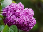 Lilacs Bloom