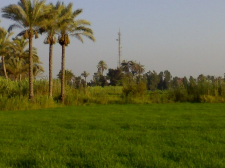 From Egypt - palm, Date, field, egypt