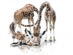 Adorable giraffes