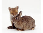 Fox puppy and a rabbit
