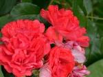 Summer Macro Rose