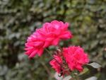 Red Macro Rose