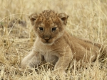 Lion Cub at Tanzanias Serengeti National Park