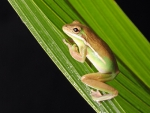 FROG ON REED