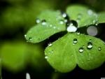 Wet clover