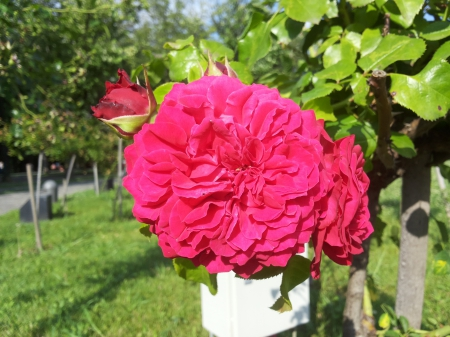 Stop and smell the roses - rose, romania, park, roses, bucharest, green, bucuresti, flower, flowers, nature