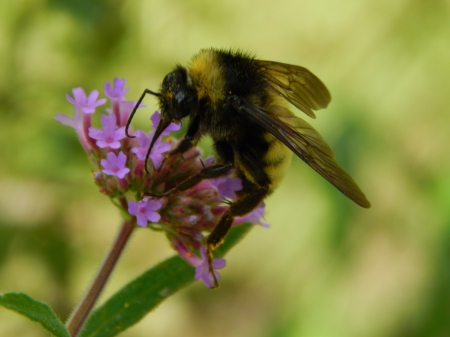 Bumble Bee And Flower - Pictures, Bee, Facts, Bees