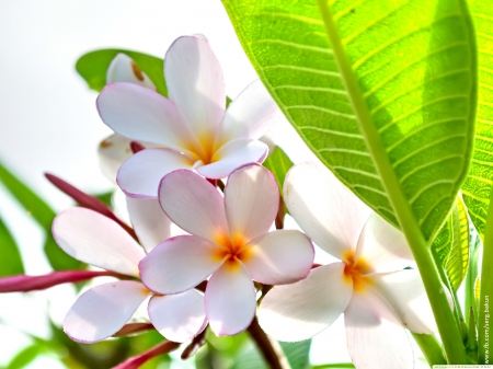 SPRING WHITE PLUMERIA - plumeria, white and pink shade, scent, fragrance, splendor, yelow shade, flowers, nature, flowers paradise