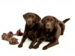 Two labradors