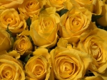 * Yellow roses *