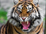 growled tiger
