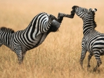 zebra kick to the jaw