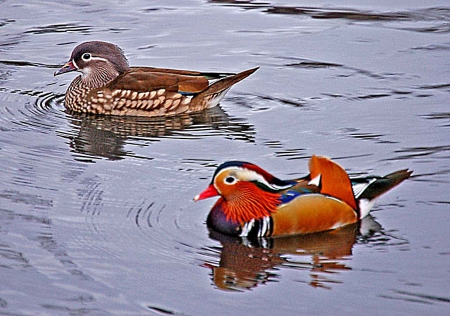 Couple of Mandarin ducks - sideways, male, female, swim