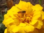 Wasp on a Yellow Flowe