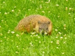 a visiting groundhog