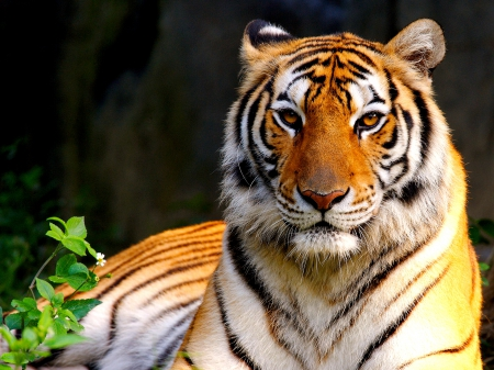 MIGHTY BEAUTY - close up, wild, tiger, mighty, cat, looking