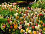 Lalele - Tulips