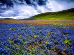 Field with blue wildflowers