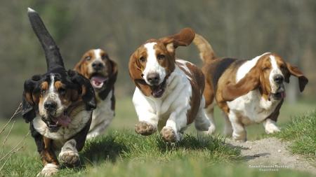Running Basset Hounds - Dogs & Animals Background ...  Running