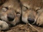 Mexican grey wolves(cubs)