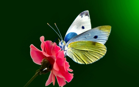 Butterfly - wings, butterfly, flower, yellow, white, pink, blue
