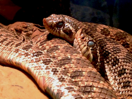 Western Hognose - brown, scales, reptiles, snakes, patterns, western