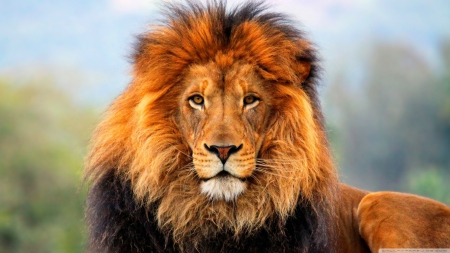 Majestic Lion Cats Animals Background Wallpapers On Desktop