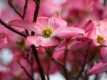 Pink dogwood flowers