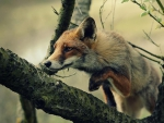 Fox on the branch