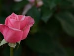 Elaborate Macro Rose