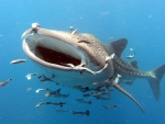 WHALE SHARK AT THE PACIFIK