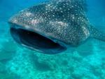 WHALE SHARK WILD BEATY